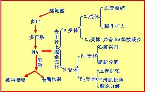 α受体和β受体是什么