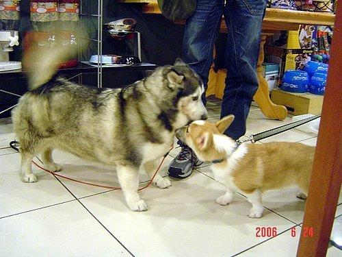 给狗带牛的名字_这狗是啥名字?真的是哈士奇和柯基的串?如果不是那叫啥 ...