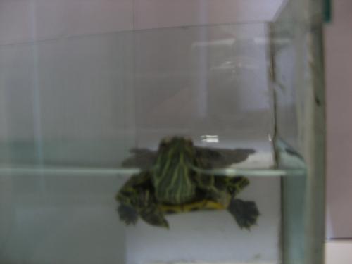 小乌龟浮在水面_巴西龟浮在水面上是怎么一回事?_百度知道