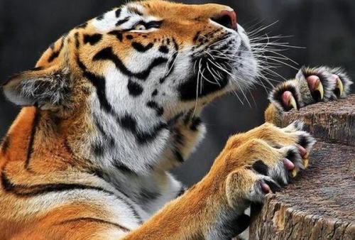你是不是虎_武松打虎有可能吗?你怎么看武松打虎的故事?