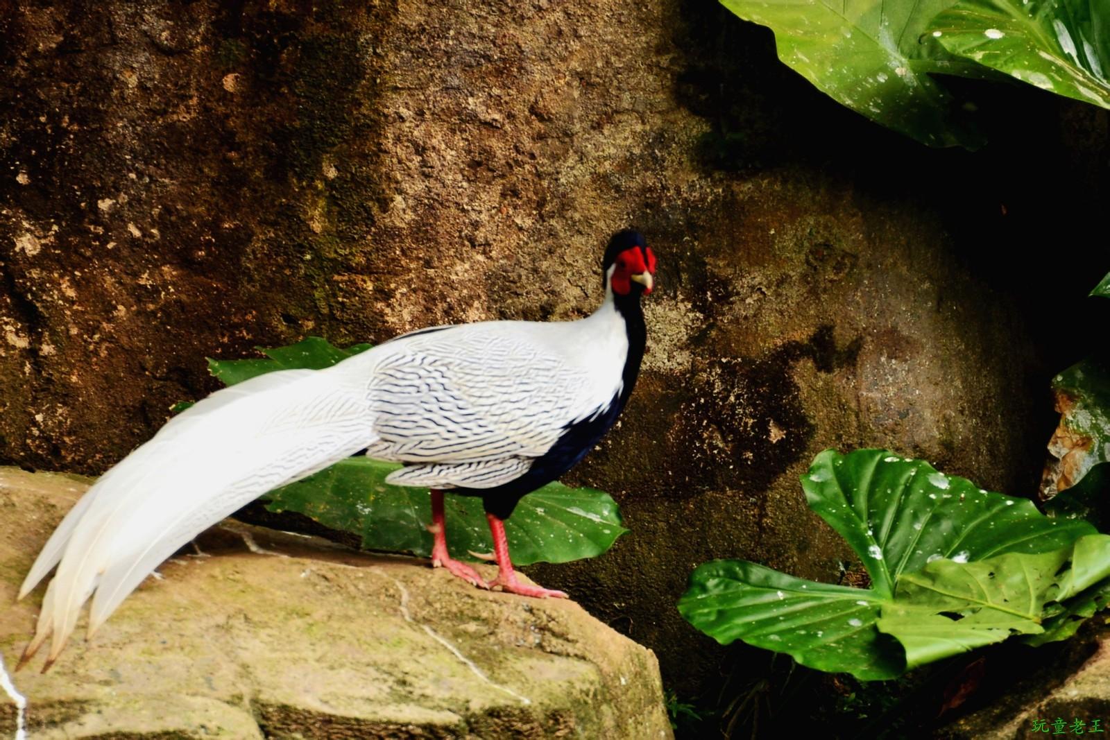 �y��9��h���9/g9��_白鹇(学名:lophura nycthemera),又名银鸡,越禽,白鹇鸡,白雉,雗,鵫雉