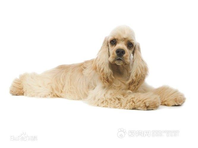 贵宾狗和泰迪的区别_怎样分辨可卡犬和泰迪犬_百度知道