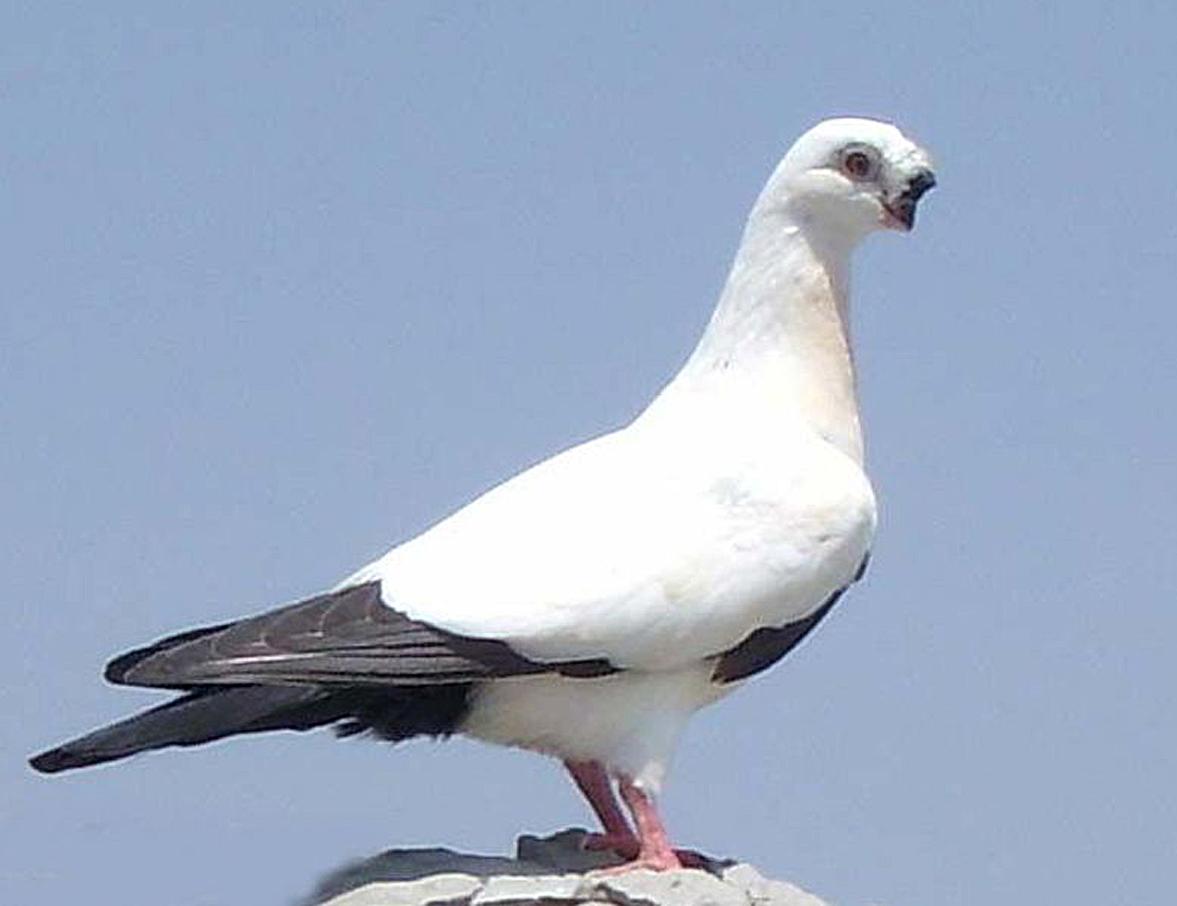 观赏鸽点子图片_白色观赏鸽,大鼻泡,凤头,嘴巴短小,是什么品种_百度知道