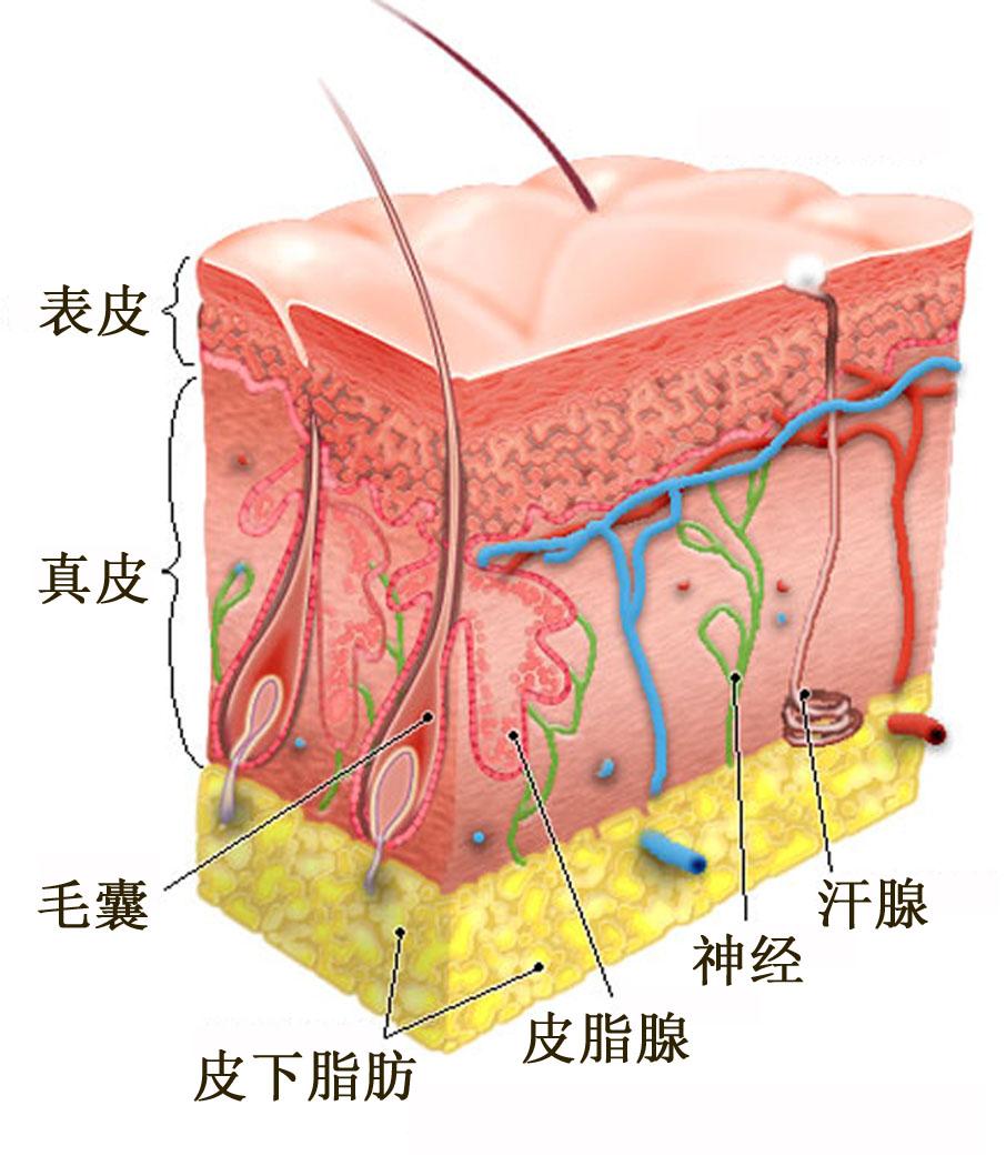 皮肤的组成结构图是什么?皮肤的组成结构图是什么?