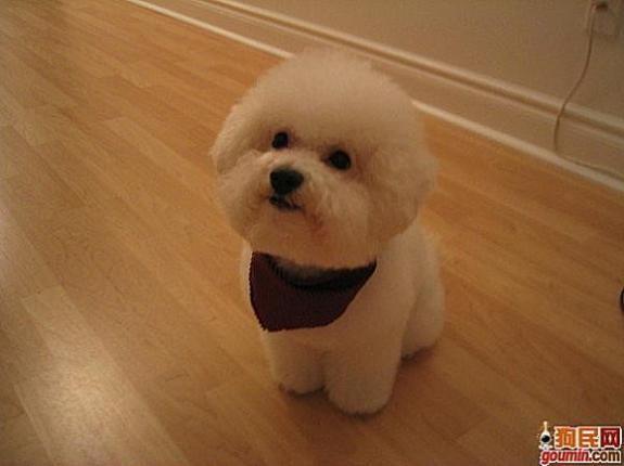 卷毛比熊犬多少钱_这是什么品种的狗?_百度知道