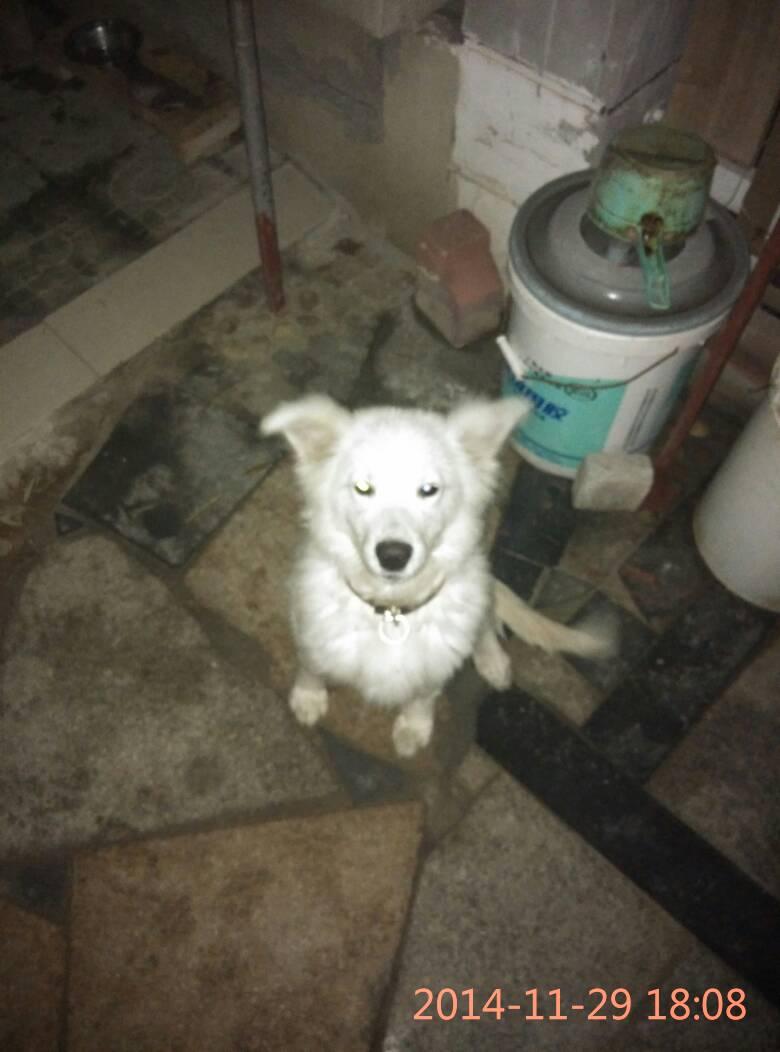 昆山人狗交配_纯种金毛和纯种黑背交配的狗狗八个月大,准备送人了,大型犬适合看家护