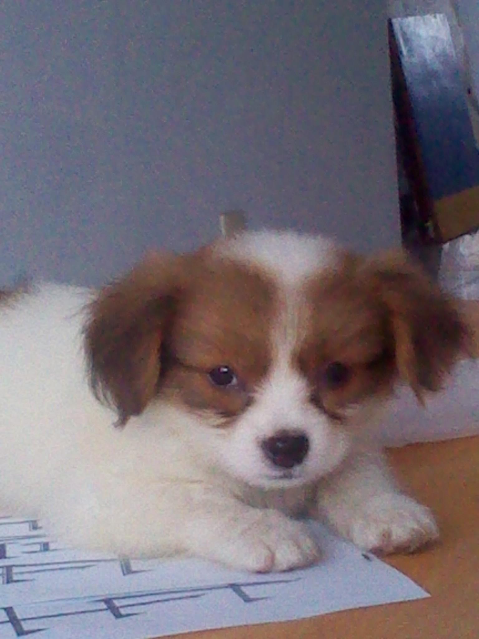 小狗狗宠物_谁知道我的小狗狗是什么品种啊?是蝴蝶犬么?下面是照片_百度 ...