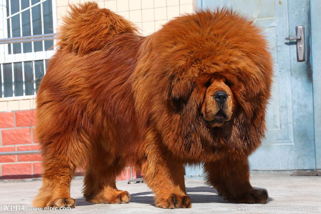 世界上最大的狗藏獒_世界上最大的狗的名字和图片_百度知道