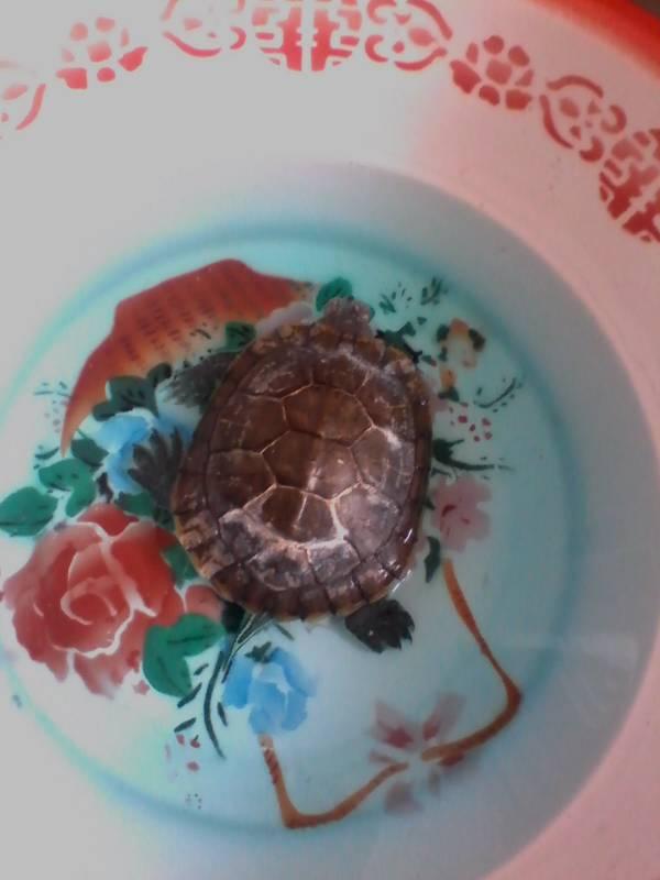 小乌龟浮在水面_我的小龟冬眠醒了一直没吃食,眼睛肿的睁不开,而且还头部 ...