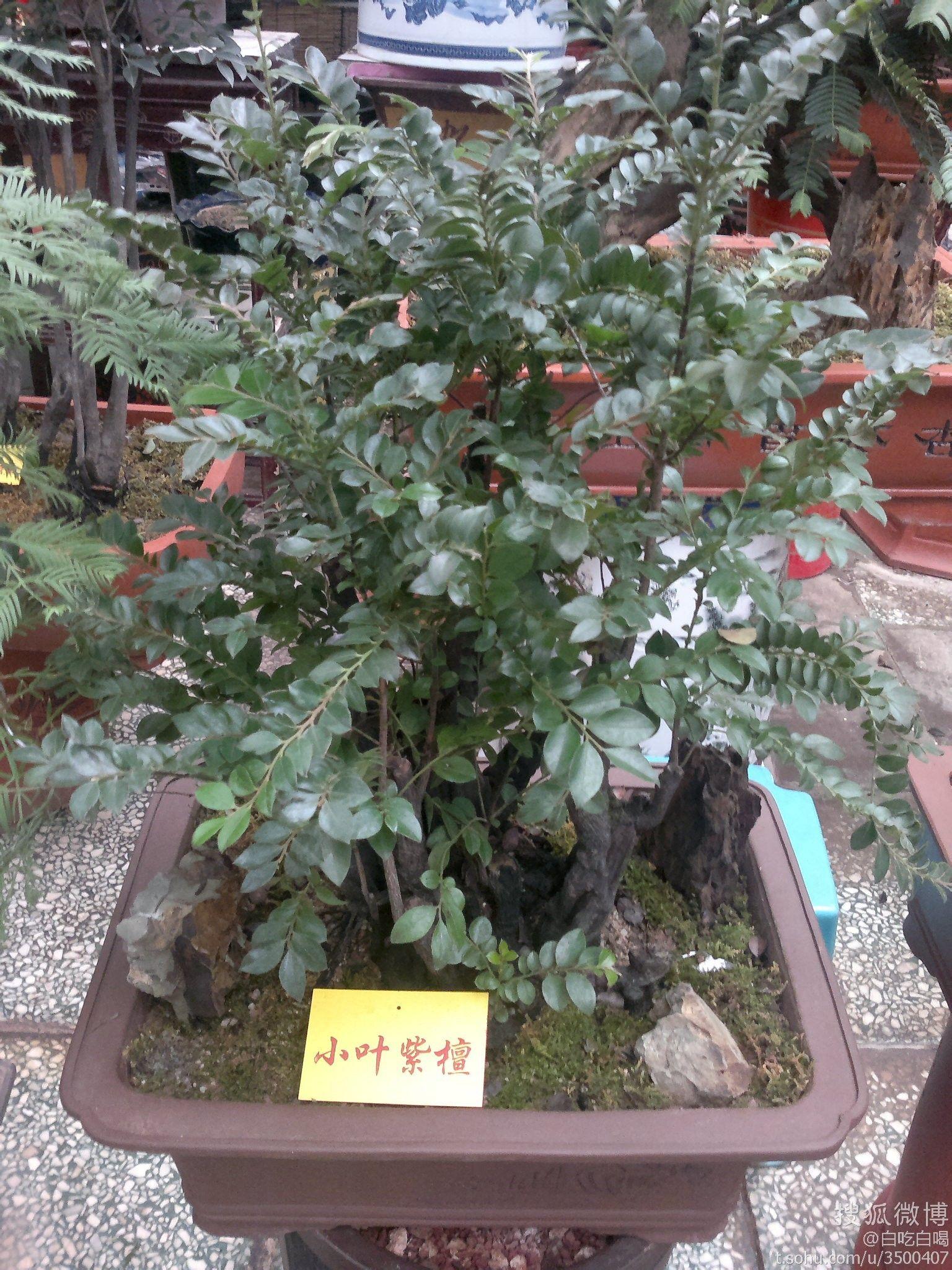小叶紫檀_小叶紫檀树是什么样子?_百度知道