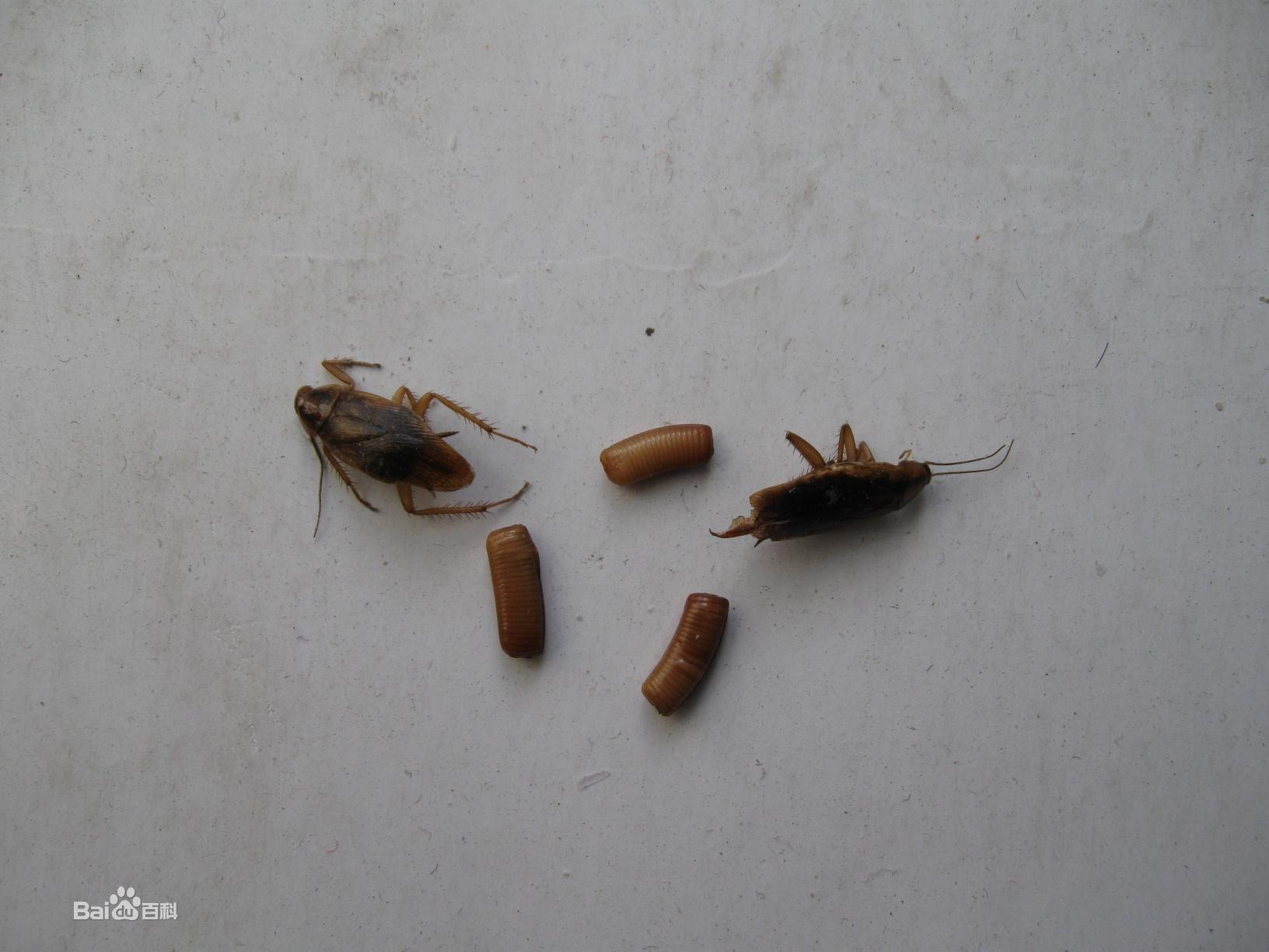 牙里的虫子长什么样_蟑螂的卵长什么样图片_百度知道