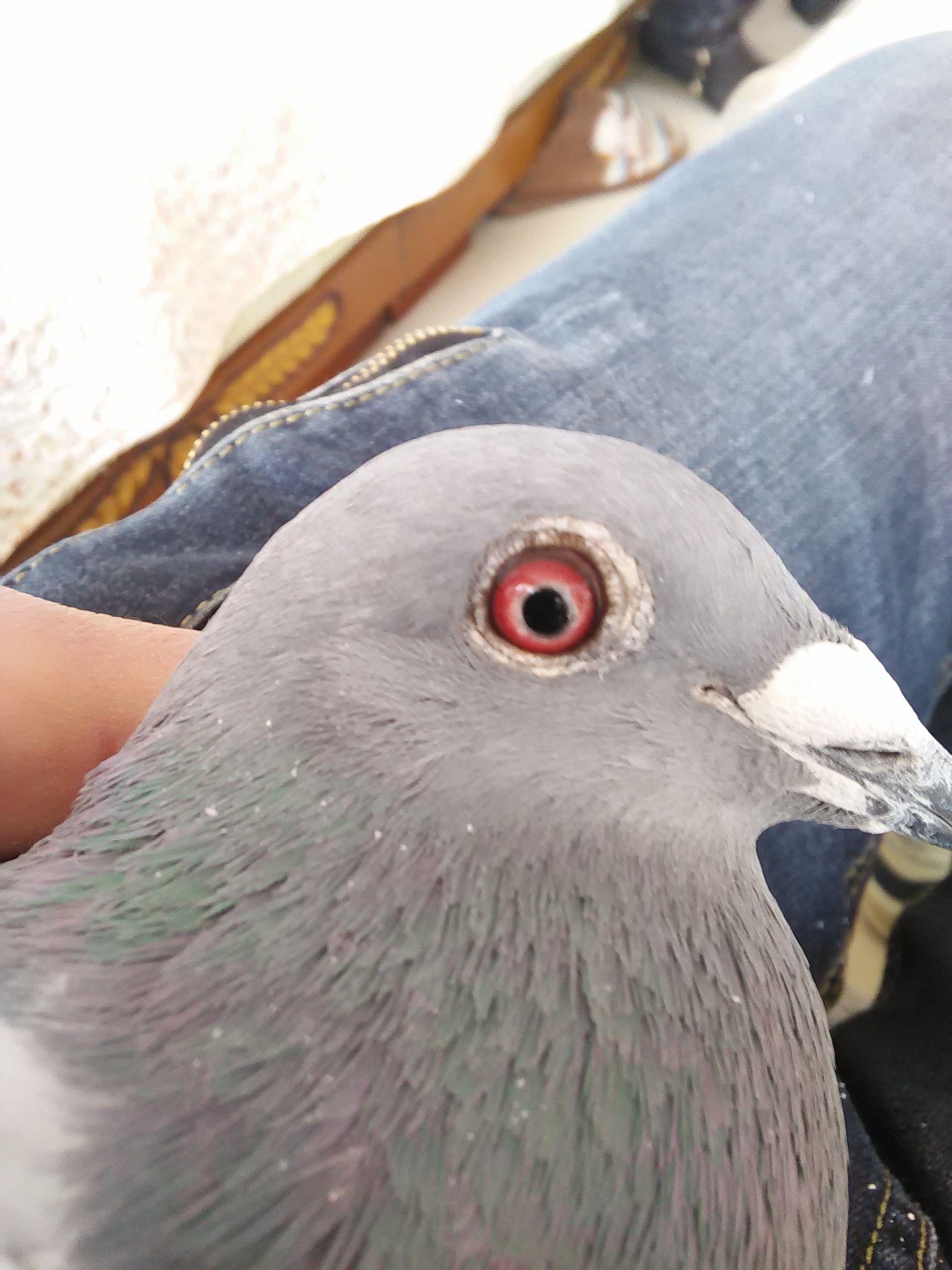 观赏鸽子品种大全_鸽子品种大全图片-鸽子种类名称及图片,观赏鸽子品种大全图片 ...