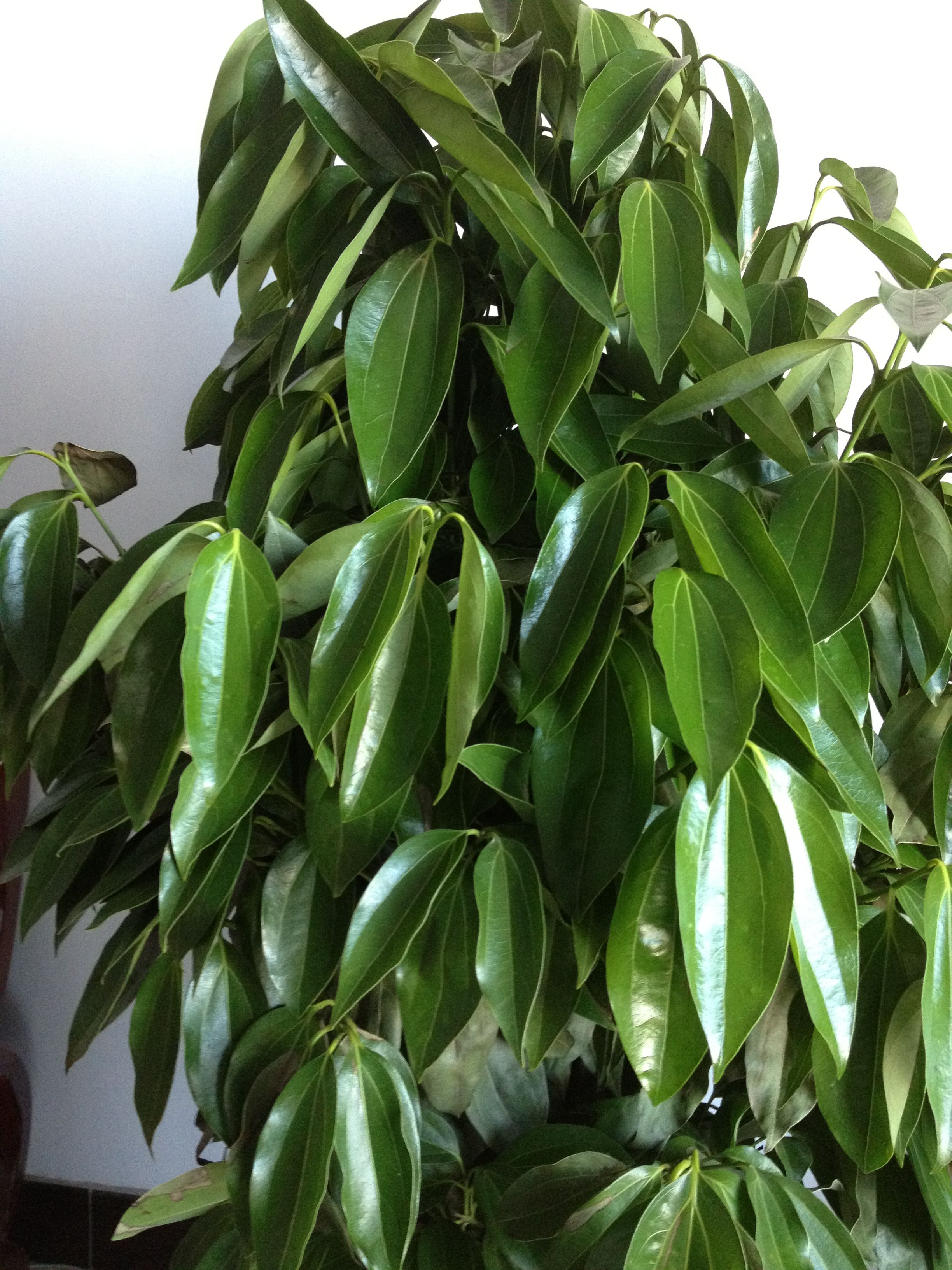 办公室盆栽植物_求助:办公室养的这种大型盆栽植物的名字是什么?它现在生病