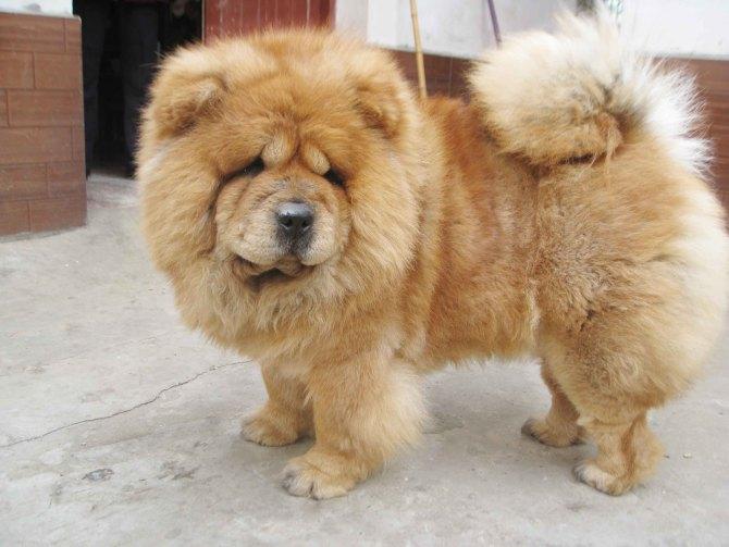 松狮犬怎么看纯种_谁知道这个松狮是什么类型的_百度知道