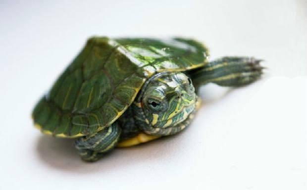 怎样让乌龟冬眠_乌龟冬眠怎么养_百度知道