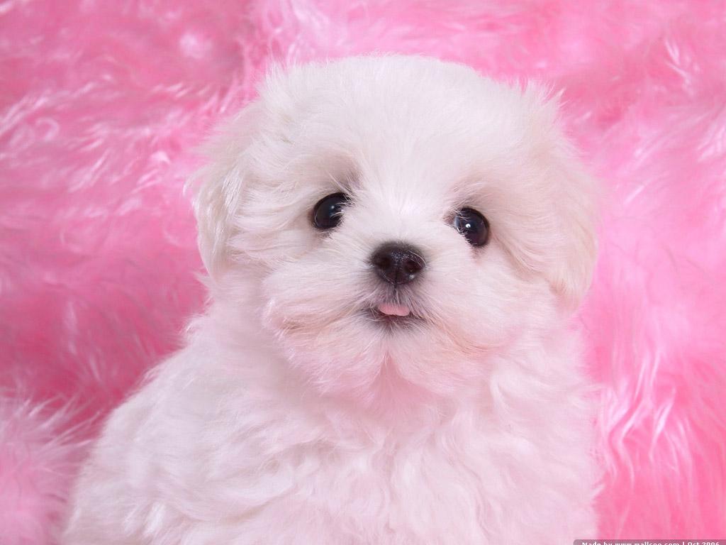 狗图片_小狗图片,纯白色。_百度知道
