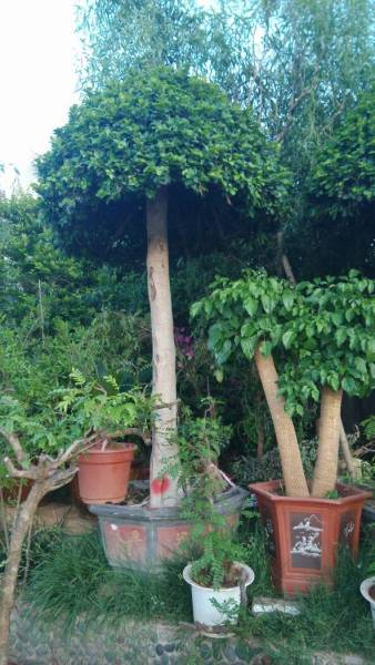 如何种植沉香树_沉香树那里最值钱图片展示_沉香树那里最值钱相关图片下载