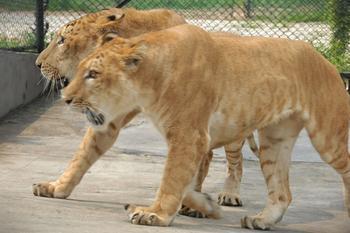 狮虎兽和虎狮兽谁大_狮子和老虎生的孩子叫什么?求图一张_百度知道