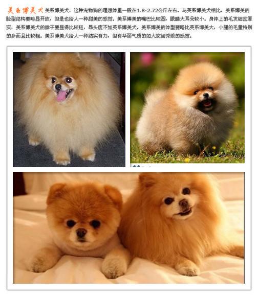英式博美犬图片_美式博美犬是剃过毛的博美 还是品种就那样子_百度知道