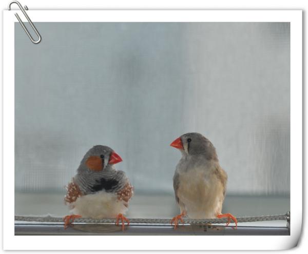 珍珠鸡公母区分_珍珠鸟怎么分大小,公母?_百度知道
