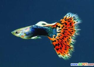 好看的热带大型鱼_..求荐几种好看热带鱼_百度知道