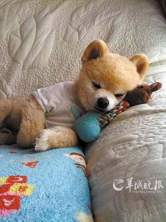 狗图片_小狗累的时候怎样睡觉?带图片?_百度知道