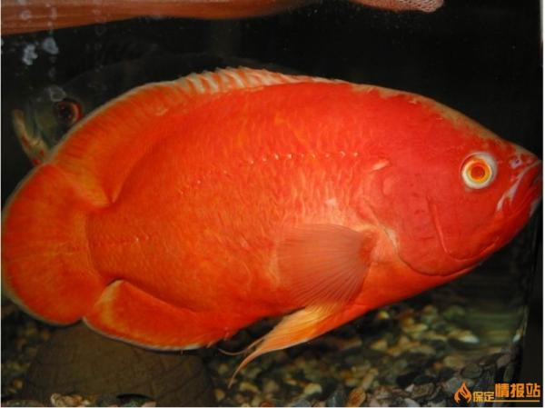 七间招财鱼_求推荐几种大型观赏热带鱼_百度知道