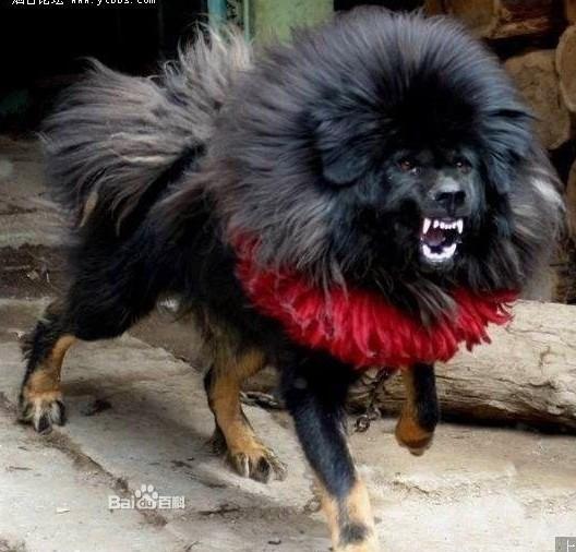 世界上最大的狗藏獒_世界上最好的狗藏獒。_百度知道