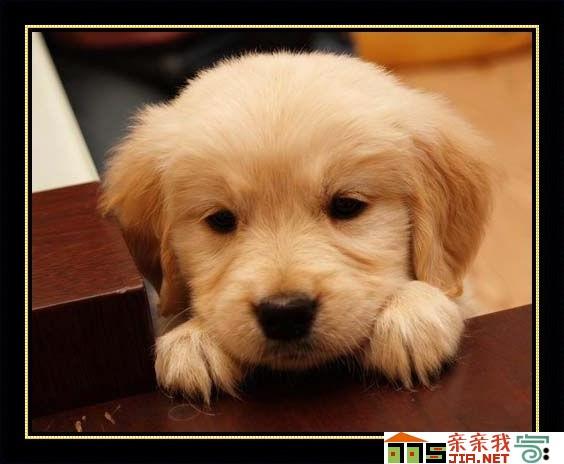 金毛幼犬怎么养_金毛幼犬大约一个月时的样子!急 ...
