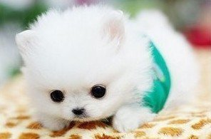 最萌博美茶杯犬。_世界上最可爱的狗狗!是哪种?(有图最好)_百度知道