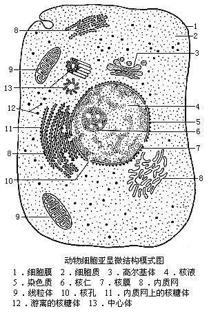 细胞平面图,显示所有细胞器_【动物细胞结构图】作业帮