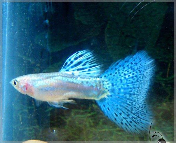 清理鱼缸的鱼种类_求家养冷水观赏鱼的品种介绍带图的 价格不要太贵 能群养的 我 ...