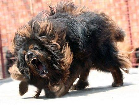 世界上最大的狗藏獒_世界上最凶的狗._百度知道
