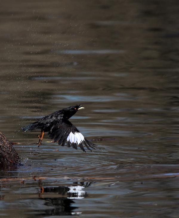 哪吒闹海图片_乌鸦翅膀上是什么图案?最近总看见一种黑色的鸟,当它展翅飞时 ...