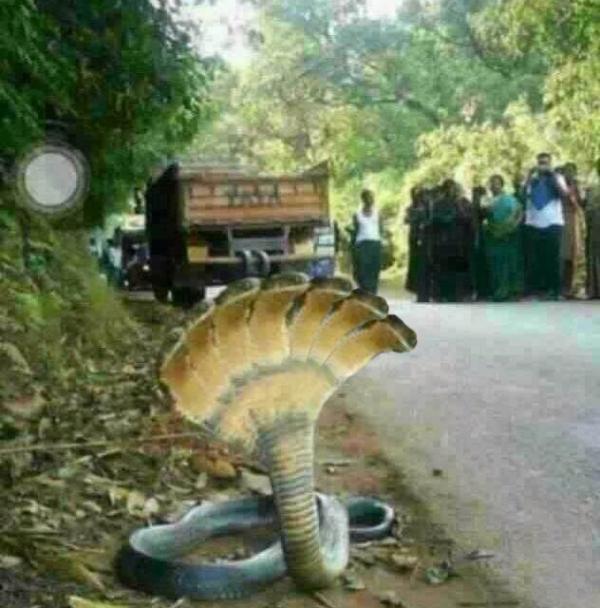 世界上最大五头蛇_你们说这五头蛇是真的还是假的?_百度知道