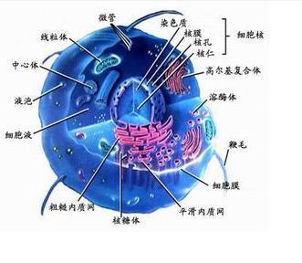 细胞平面图,显示所有细胞器_生物细胞结构图_作业帮