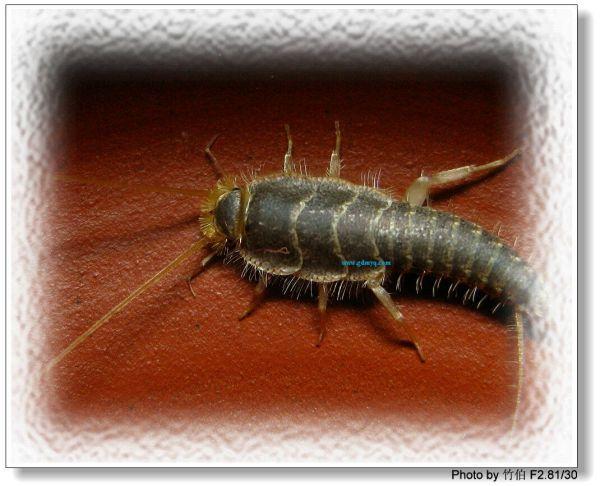 牙里的虫子长什么样_蟑螂幼虫图片蟑螂幼虫图片大全 蟑螂的幼虫1