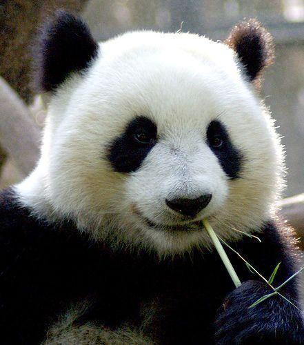 大的样子_大熊猫的样子和生活性_百度知道