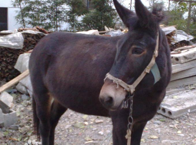 女人与公动物交配文章_骡子是马和驴交配产下的后代,虽然被称呼为骡子,但是会被细分为驴骡和