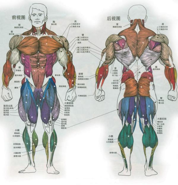 人体肌肉_人体肌肉结构图